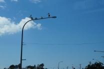 Pelikanen op lantaarn