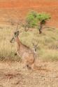 Kangoeroes met joeys